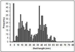 This graph shows the size frequency of shell lengths ranging between 0 to 80mm.