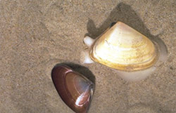 Pipis are found in the top 10 cm of sand on Venus Bay beaches