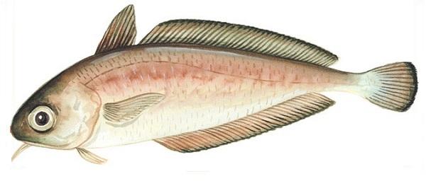 Southern rock cod