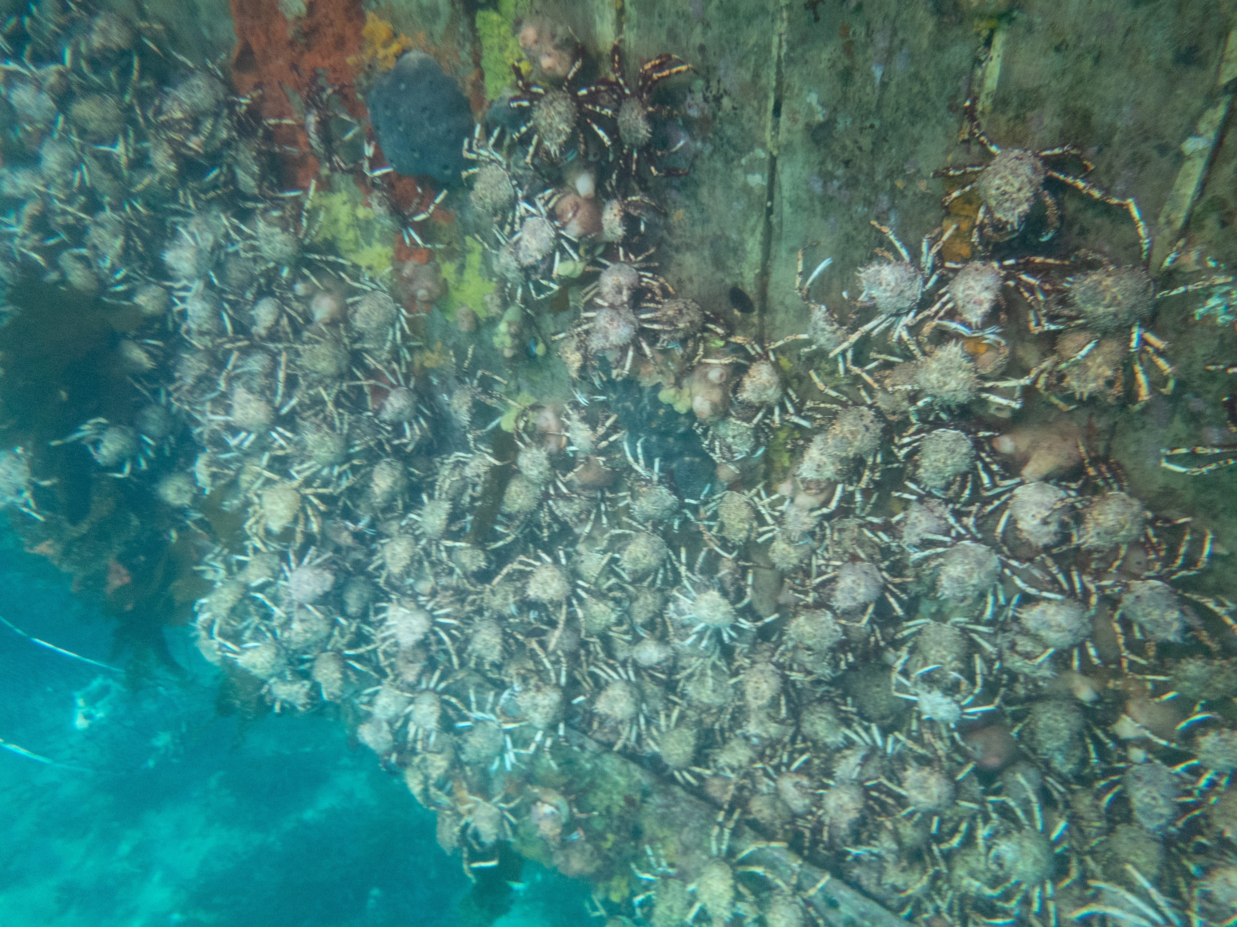 Aggregation of spider crabs