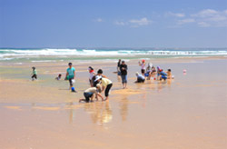 Pipi collecting at Venus Bay is a summer family activity