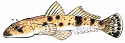 flathead_illustration