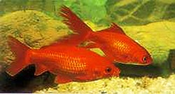 Photograph of goldfish