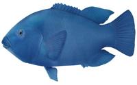 Male blue groper