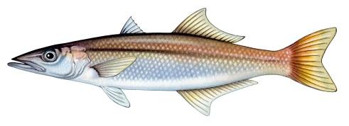 Longfin pike