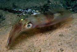 Calamari Egg Cluster