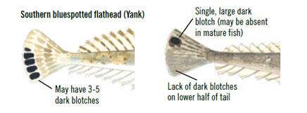 Dusky Flathead Features