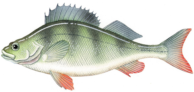 Redfin vfa for List of fish with fins and scales