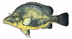 golden perch Illustration
