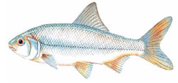 Roach Fish Illustration