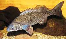 Photograph of silver perch