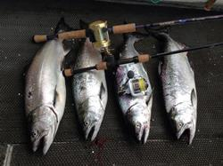 Chinook salmon are prized by anglers for their strong fighting qualities.