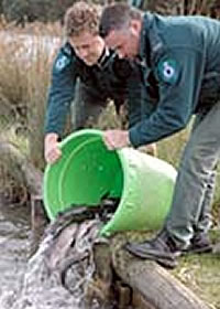Releasing Yearling rainbow trout