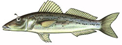whiting illustration