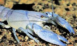 Photograph of a Yabby