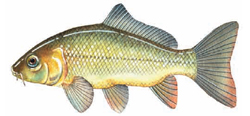 European Carp Illustration