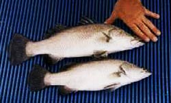 Photograph of two Barramundi fish