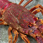 Photo of a rock lobster