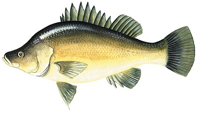 Picture of a golden perch
