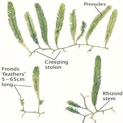 Caulerpa taxifolia is a green macroalgae (or seaweed)