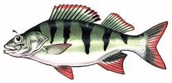 redfin illustration