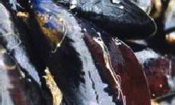 Photograph of Blue Mussels