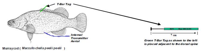 Murraycod ( Maccullochella peeli i peelii )