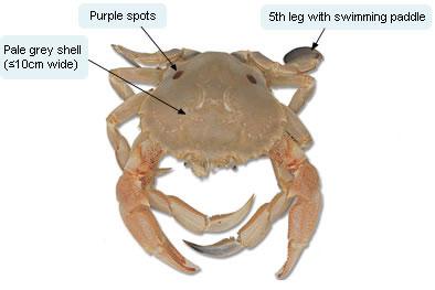 Sand crab detail