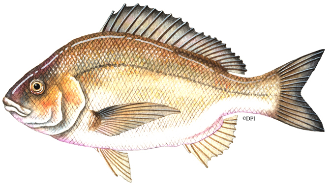 BLACK_BREAM