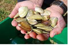 Pipis in hand