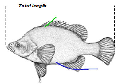 App2-2-Golden-Perch