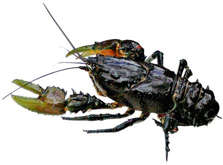 Glenelg Spiny Crayfish