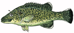 murray cod Illustration