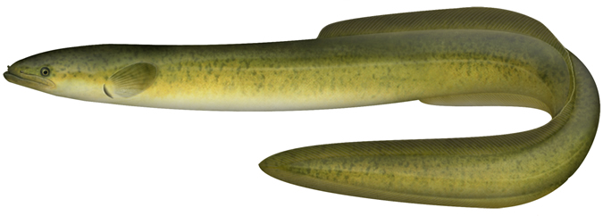 Long-finned eel