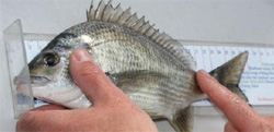 Measuring Black Bream