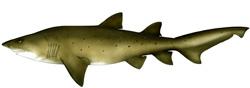 Greynurse shark