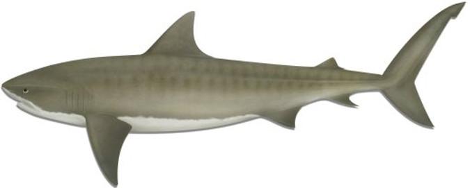 Tiger Shark 675x271