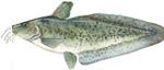 freshwater Catfish