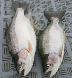 Well-conditioned rainbow trout have also been caught by anglers at Lake Bullen Merri in 2016 thanks to optimal stocking plans.